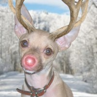 Our Dog-Turned-Reindeer Christmas Cards