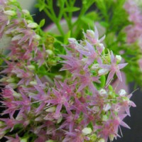 Budget Blooms: September Sedum