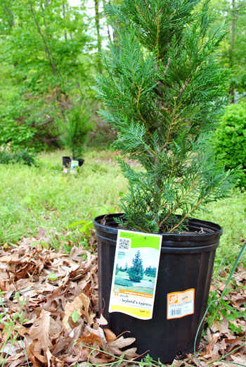 Planting A Few Leyland Cypress Trees For Added Privacy
