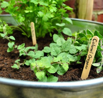 Making An Herb Garden In A Metal Tub