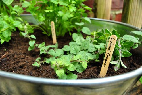 Making An Herb Garden In A Metal Tub