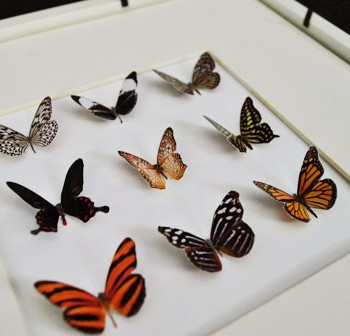 Butterflies-All-Glued