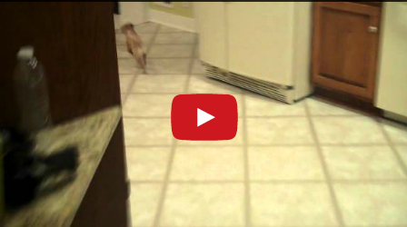 Chihuahuas Give Terrible House Tours