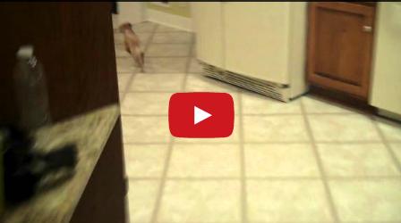 Chihuahuas Give Terrible House Tours