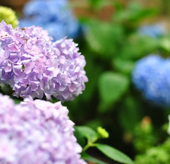 Plants-5-Hydrangeas-Close