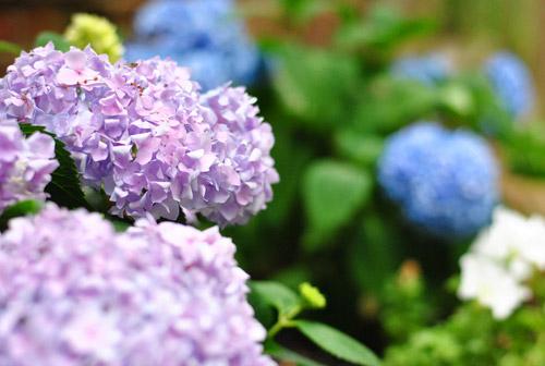 Planting Boxwoods, Petunias, and Hydrangeas