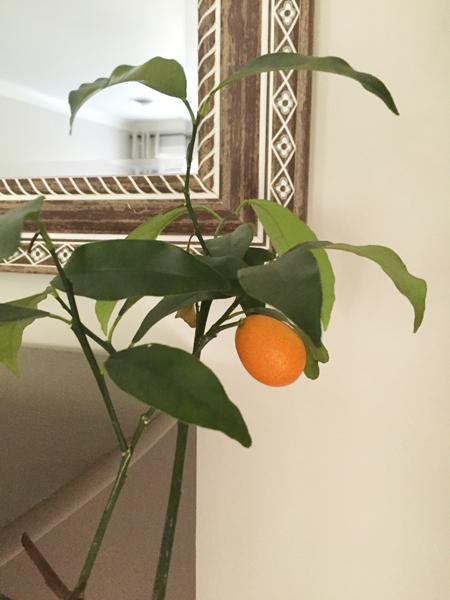 kumquat-house-plant-indoor