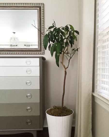 semi-sad-kumquat-tree-house-plant