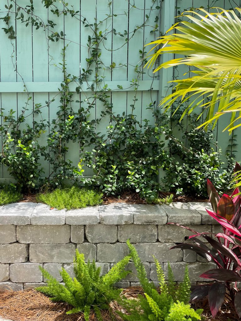 Close up of star jasmine planted in retaining wall along fence with stonecrop foxtail ferns red ti
