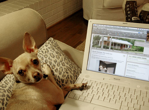 hamburger the chihuahua is blogging
