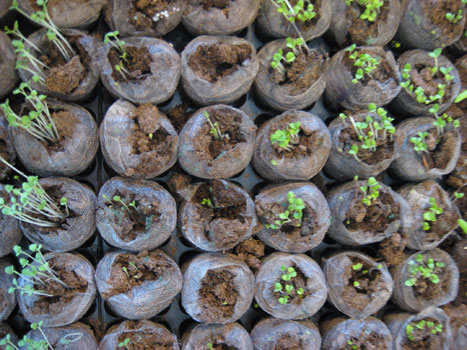 Jiffy Greenhouse Plating Seeds Growing Herbs Vegetables