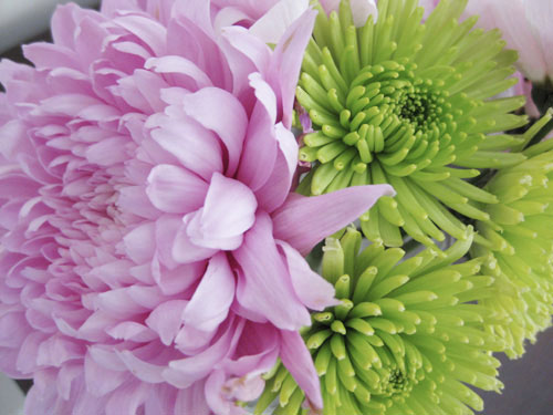 close-up-pink-and-green-mums