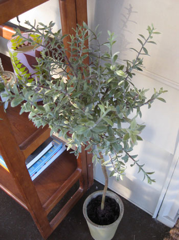 rosemary-topiary