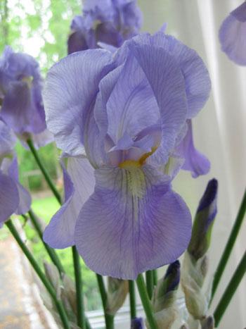 wild-iris-backyard-grown